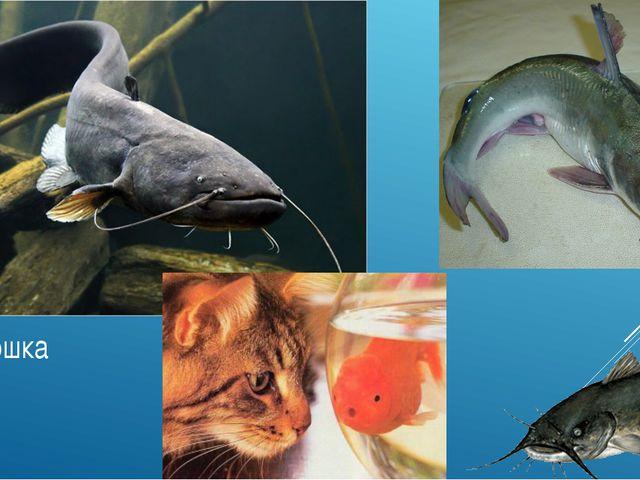 Рыба-кошка (сомик)