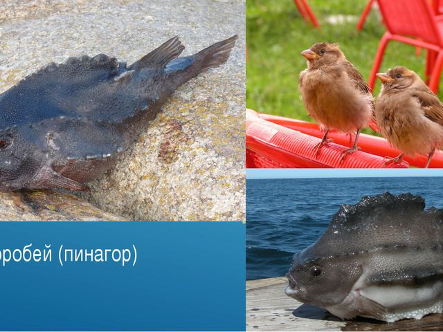 Рыба-воробей (пинагор)