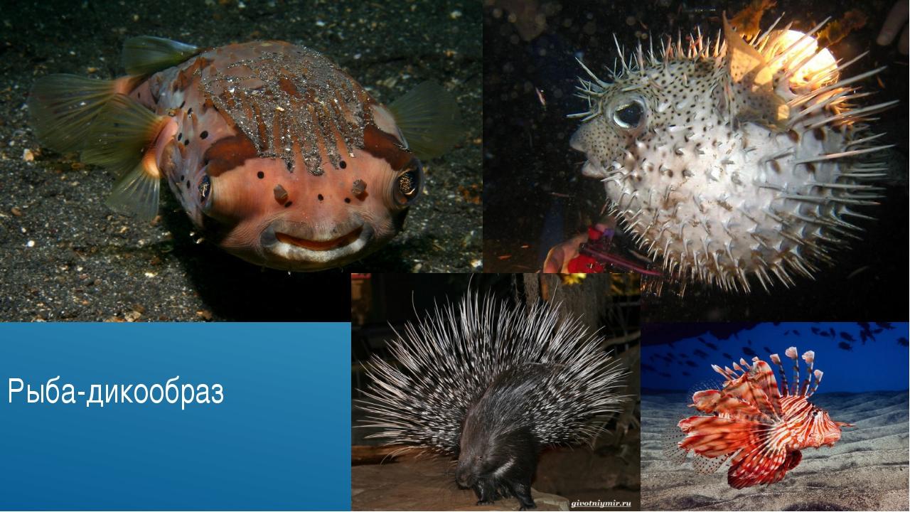 Рыба-дикообраз