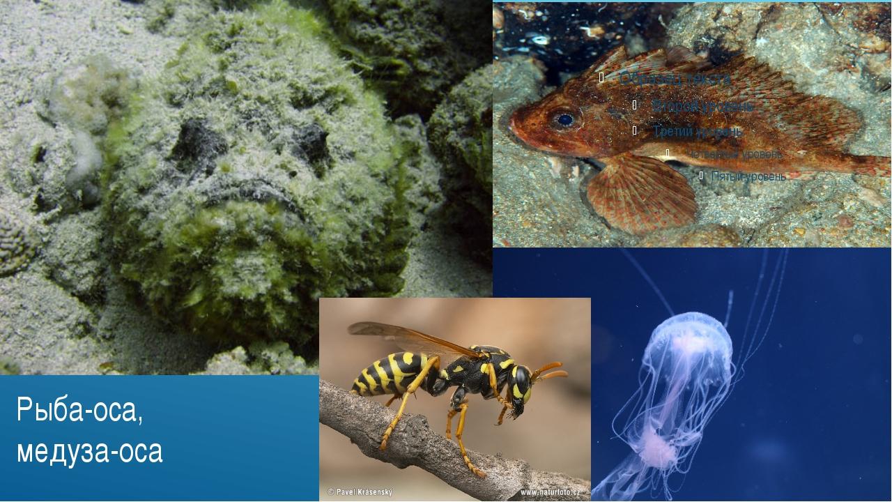 Рыба-оса, медуза-оса