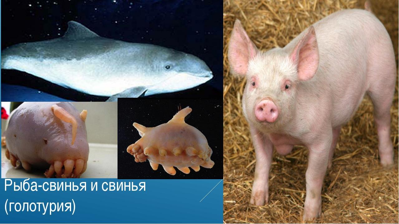 Рыба-свинья и свинья (голотурия)