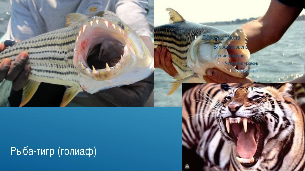 Рыба-тигр (голиаф)