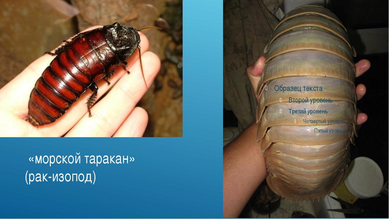 «морской таракан» (рак-изопод)