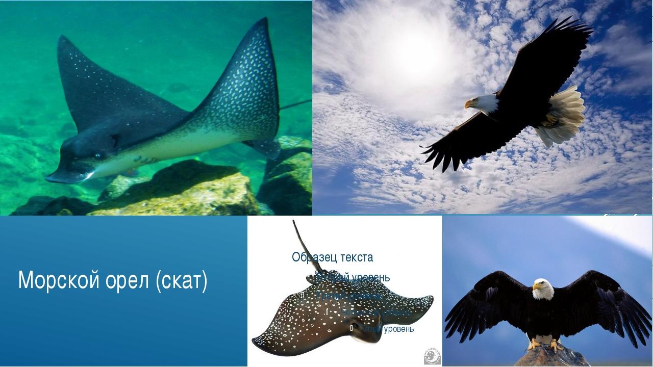 Морской орел (скат)