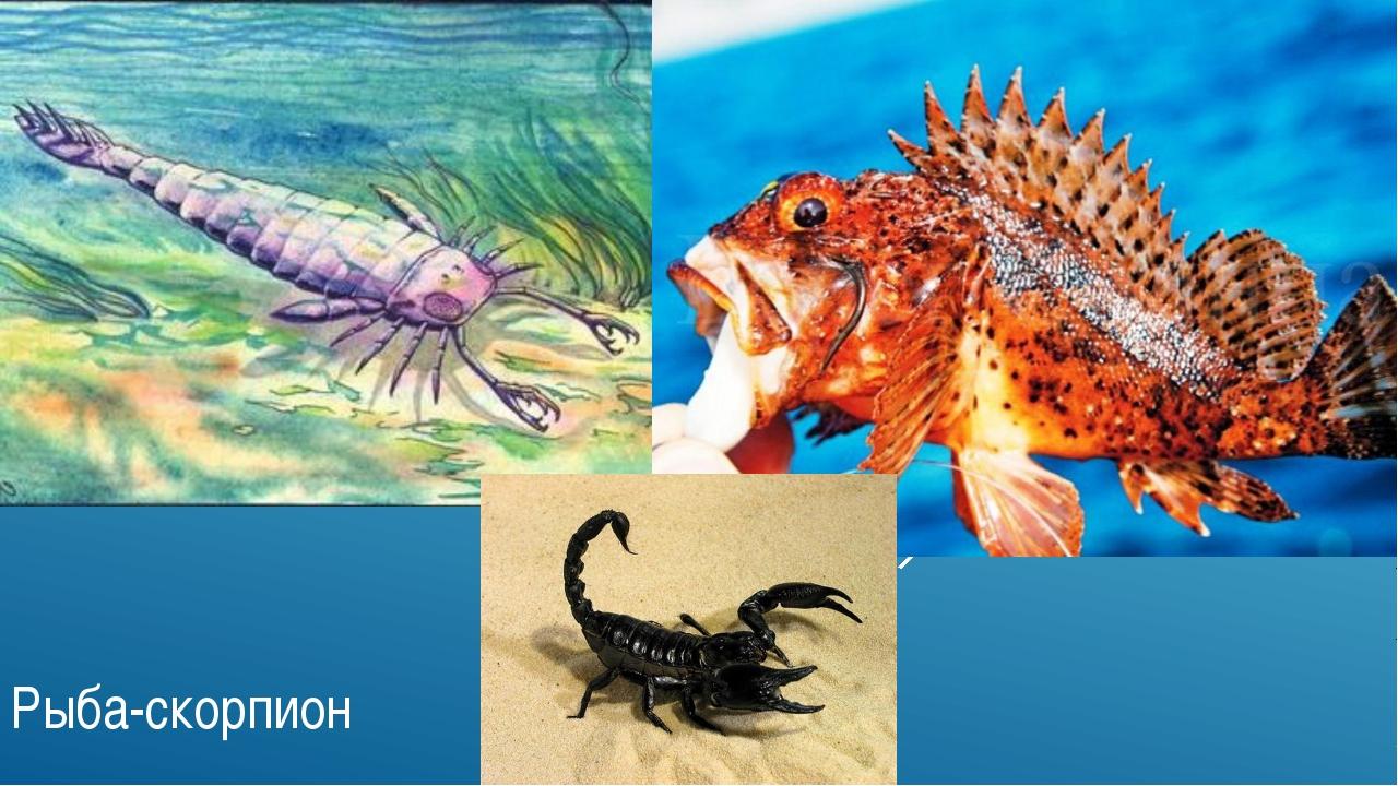 Морской скорпион (морской дракончик) Рыба-скорпион