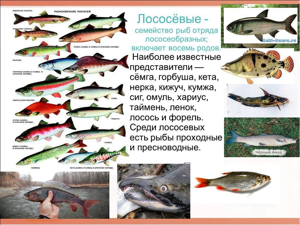 Лососевые рыбы названия и картинки