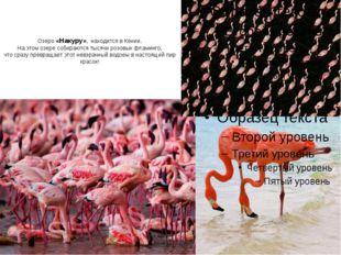Озеро «Накуру», находится в Кении. На этом озере собираются тысячи розовых фл