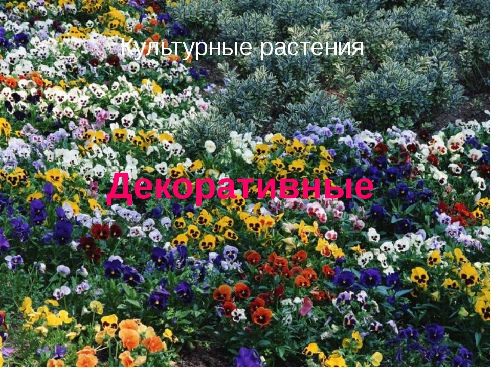 Культурные растения Декоративные