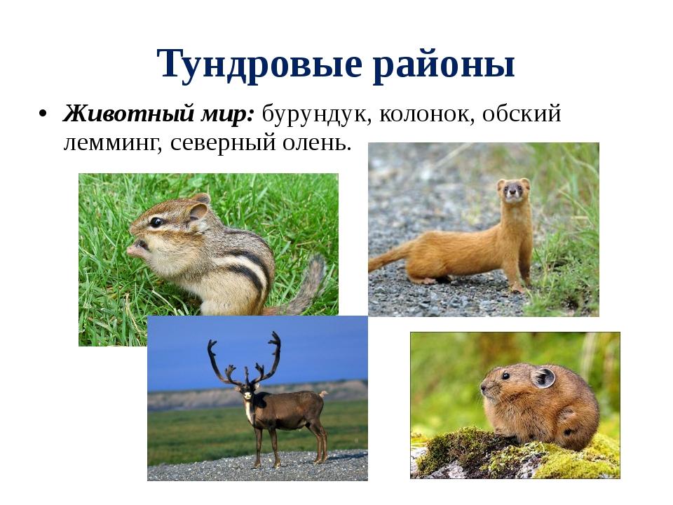 Тундровые районы Животный мир: бурундук, колонок, обский лемминг, северный ол...