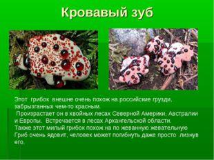 Кровавый зуб Этот грибок внешне очень похож на российские грузди, забрызганны