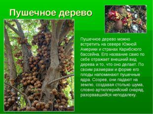 Пушечное дерево Пушечное дерево можно встретить на севере Южной Америки и стр