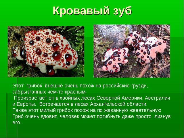 Кровавый зуб Этот грибок внешне очень похож на российские грузди, забрызганны...