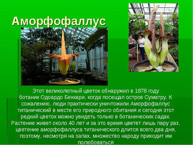 Аморфофаллус  Этот великолепный цветок обнаружил в1878году ботаникОдоардо...