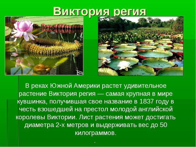 Виктория регия В реках Южной Америкирастет удивительное растениеВиктория ре...