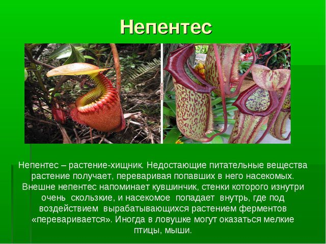 Непентес Непентес – растение-хищник. Недостающие питательные вещества растени...