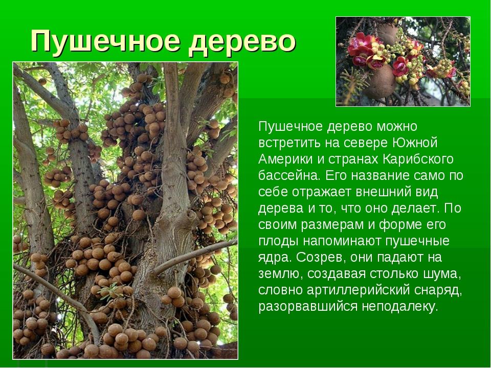 Пушечное дерево Пушечное дерево можно встретить на севере Южной Америки и стр...