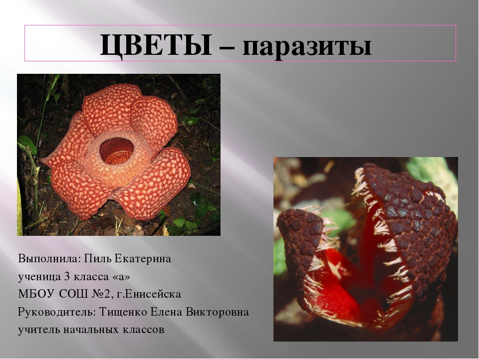 ЦВЕТЫ – паразиты Выполнила: Пиль Екатерина ученица 3 класса «а» МБОУ СОШ №2,...