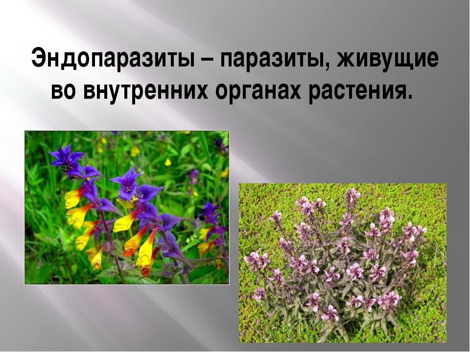 Эндопаразиты – паразиты, живущие во внутренних органах растения.