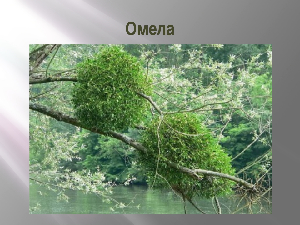 Омела