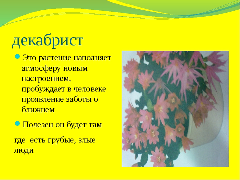декабрист Это растение наполняет атмосферу новым настроением, пробуждает в че...
