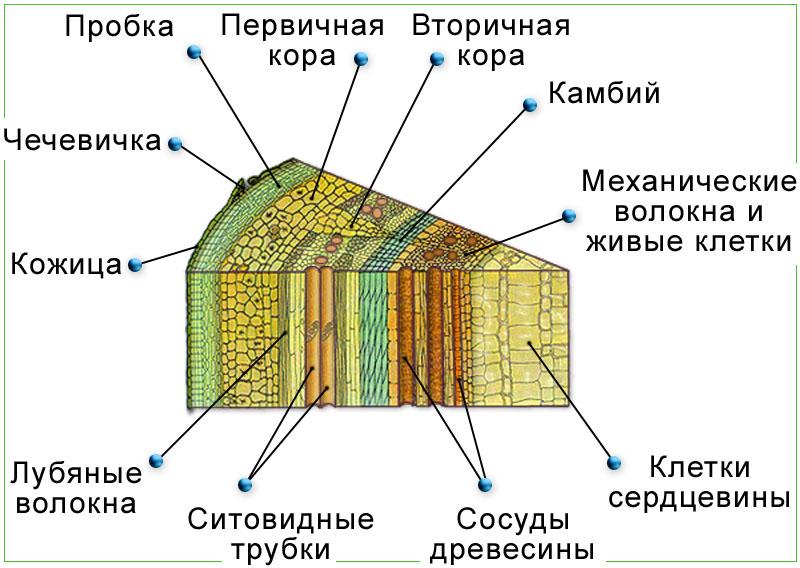 Схема строения древесного стебля