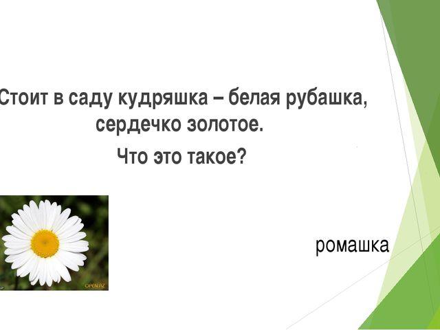 Стоит в саду кудряшка – белая рубашка, сердечко золотое. Что это такое? ромашка