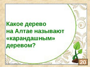Кедр Какое дерево на Алтае называют «карандашным» деревом? 20
