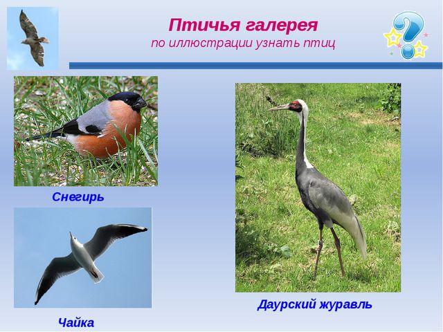 Птичья галерея по иллюстрации узнать птиц Снегирь Чайка Даурский журавль