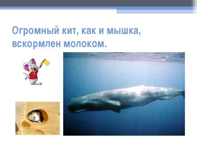 Огромный кит, как и мышка, вскормлен молоком.