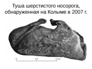 Туша шерстистого носорога, обнаруженная на Колыме в 2007 г.