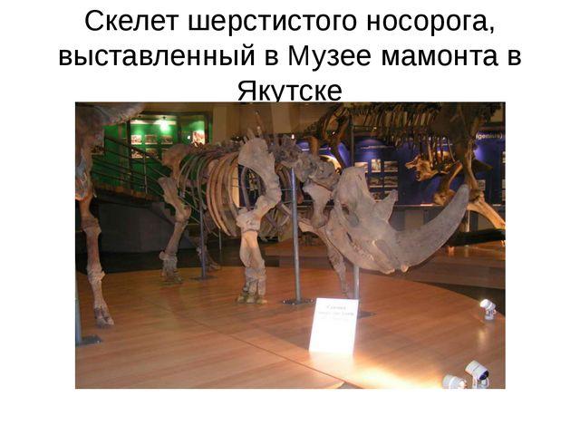 Скелет шерстистого носорога, выставленный в Музее мамонта в Якутске