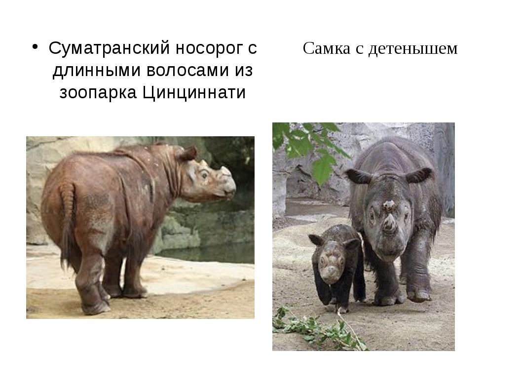 Суматранский носорог с длинными волосами из зоопарка Цинциннати Самка с детен...