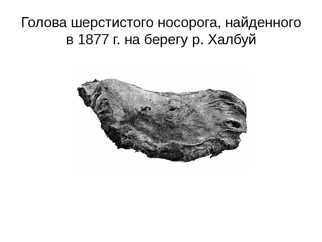 Голова шерстистого носорога, найденного в 1877 г. на берегу р. Халбуй