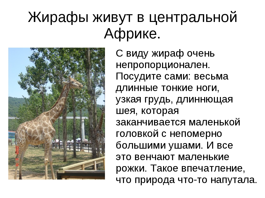 Жирафы живут в центральной Африке. С виду жираф очень непропорционален. Посуд...