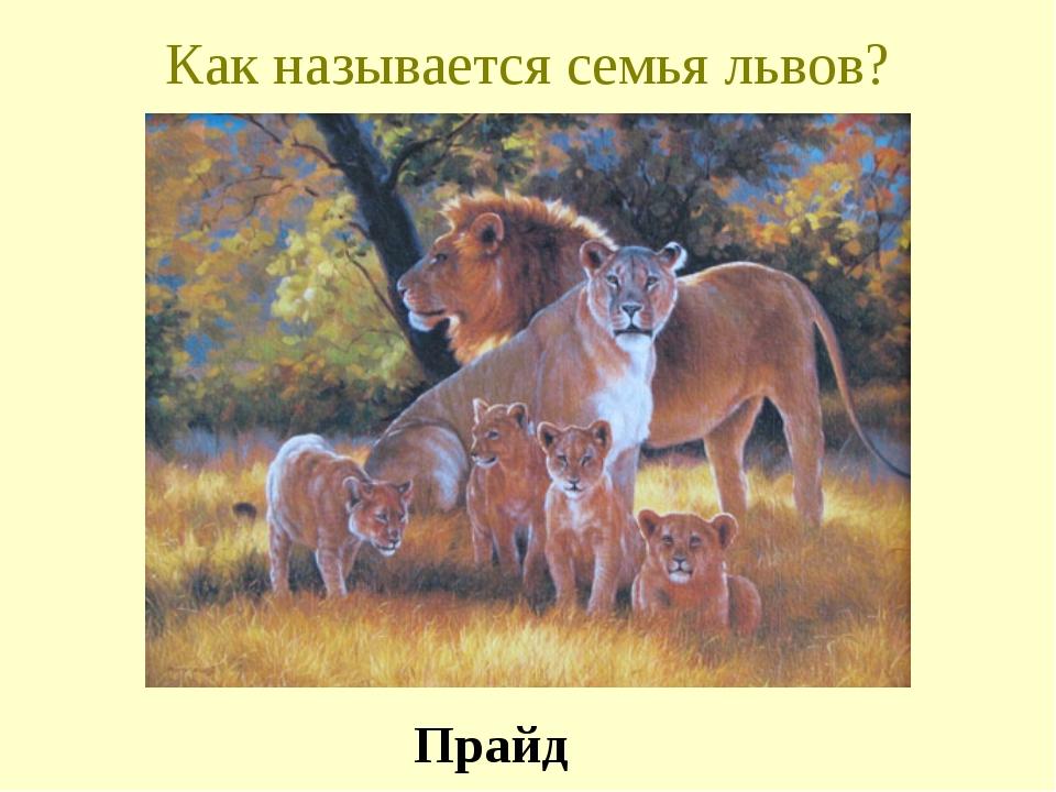 Как называется семья львов? Прайд