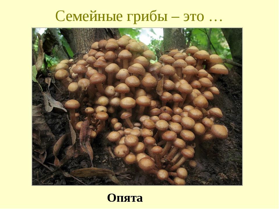Семейные грибы – это … Опята