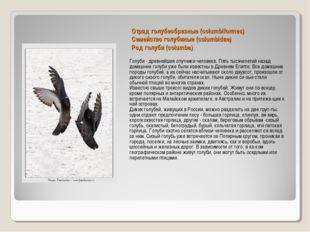 Отряд голубеобразные (columbiformes) Семейство голубиные (columbidae) Род гол