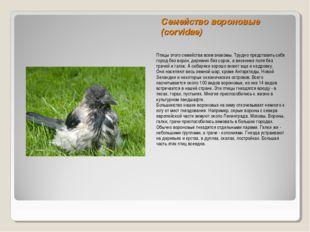 Семейство вороновые (corvidae) Птицы этого семейства всем знакомы. Трудно пре