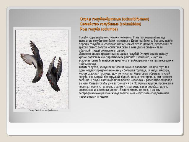 Отряд голубеобразные (columbiformes) Семейство голубиные (columbidae) Род гол...