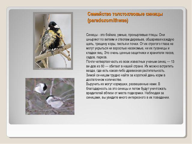 Семейство толстоклювые синицы (paradoxornithwae) Синицы - это бойкие, умные,...