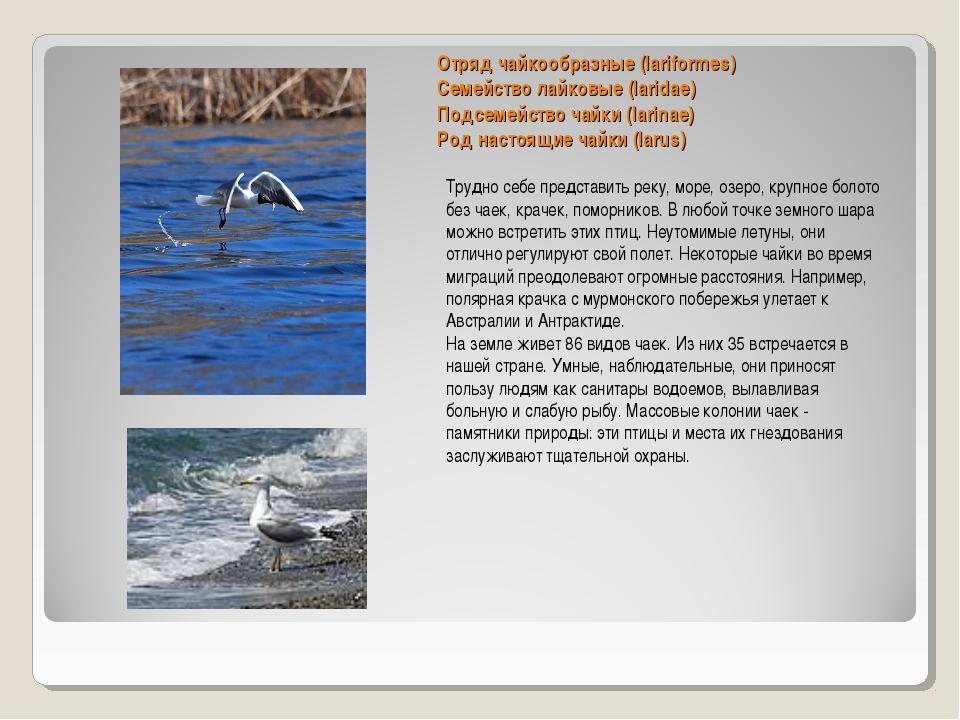 Отряд чайкообразные (lariformes) Семейство лайковые (laridae) Подсемейство ча...
