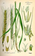 Рожь посевная :: Отто Вильгельм Томе «Флора Германии, Австрии и Швейцарии», 1885 год