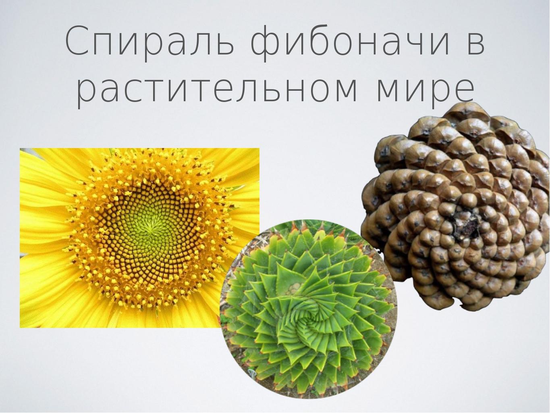 Спираль фибоначи в растительном мире