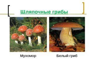Шляпочные грибы Мухомор Белый гриб