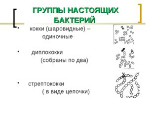 ГРУППЫ НАСТОЯЩИХ БАКТЕРИЙ кокки (шаровидные) – одиночные диплококки (собраны
