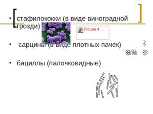 стафилококки (в виде виноградной грозди) сарцины (в виде плотных пачек) бацил
