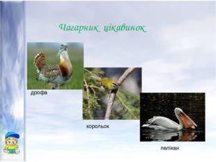 Чагарник цікавинок дрофа корольок пелікан