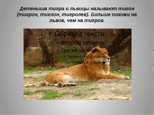 Детеныша тигра и львицы называют тигон (тигрон, тиглон, тигролев). Больше пох