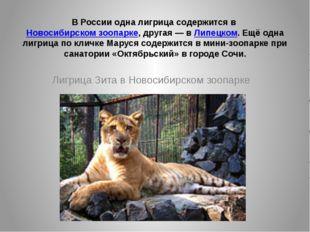 В России одна лигрица содержится вНовосибирском зоопарке, другая— вЛипецко