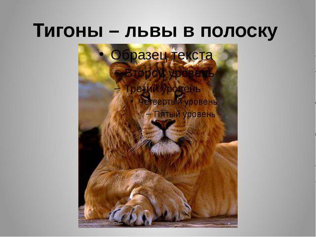 Тигоны – львы в полоску